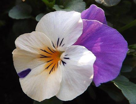 Viola, Spring, Flower