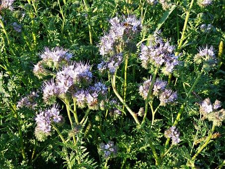 Tansy Phacelia, Flowers, Plant, Honey, Wild Flowers