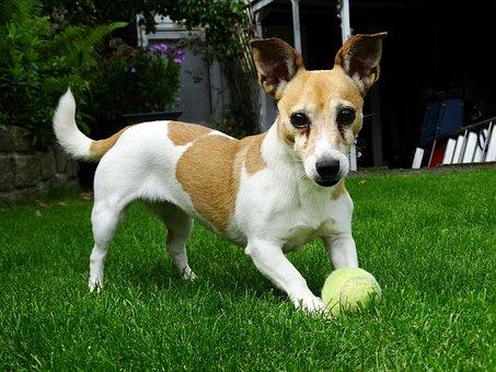 Doggy, Jack Russell, Terrier, Animals, Pet, Garden