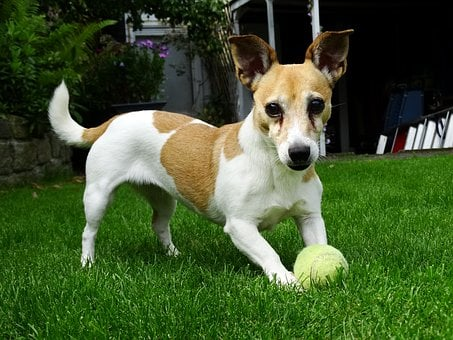 Doggy, Jack Russell, Terrier, Animals, Pet, Garden