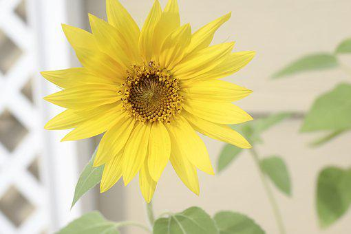 Sunflower, Flower, Yellow, Leaf, Leaves, Green, Summer