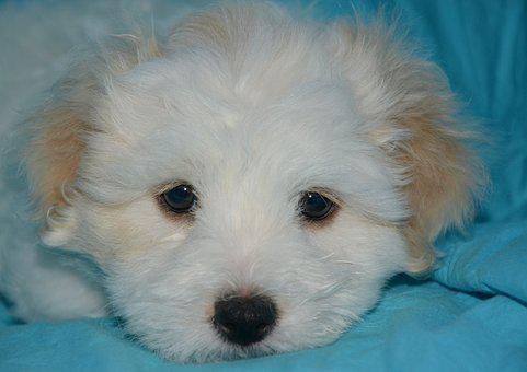 Cotton Tulear, Puppy, Dog, Portrait, Head, Look, Eyes