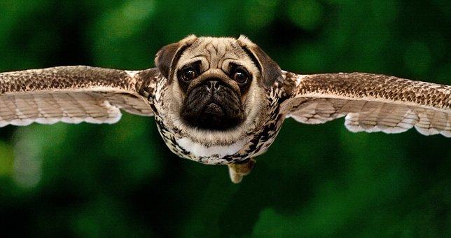 Pug, Owl, Approach, Raptor, In Flight, Bird Of Prey