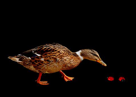 Duck, Water Bird, Poultry, Plumage, Feather, Bird