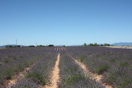 Lavender, Provence, Sault