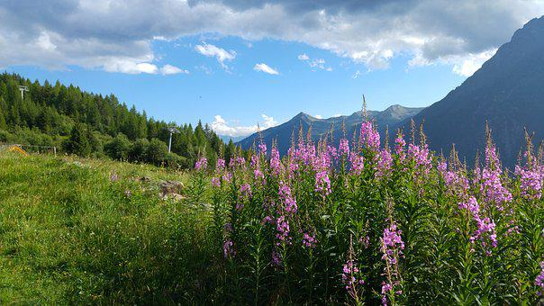 Valmalenco, Mountains, Field Flowers