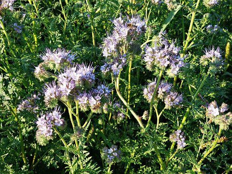 Tansy Phacelia, Flowers, Plant, Honey, Wild Flowers