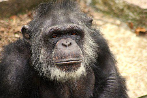 Gorilla, Face, Old, Gray, Elderly, Wise, Ape, Animal