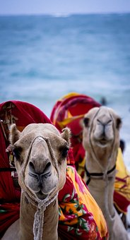 Camel, Kenya, Mombasa, Africa, Animal, Wildlife
