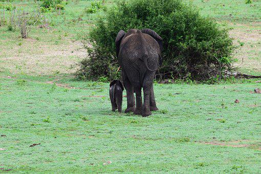 Elephant, Calf, Rear, Bottom, Baby, Mother, Botswana