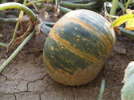 Pumpkin, Vegetables, Harvest, Field, Bio, Autumn
