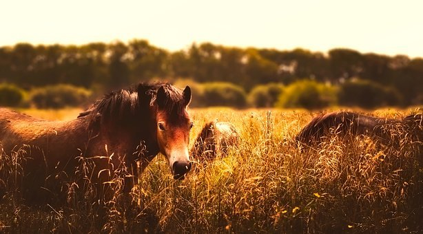 Horses, Animals, Panorama, Field, Meadow, Pastoral