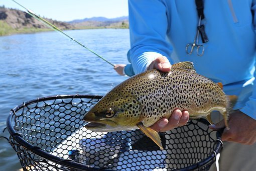 Fish, Fishing, Trout, Brown Trout, Nature, Water