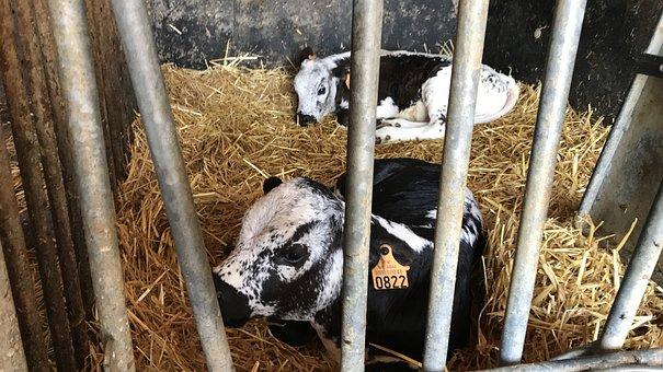 Vosges Calf, Alsace, Farm, France, Vosges, Stall