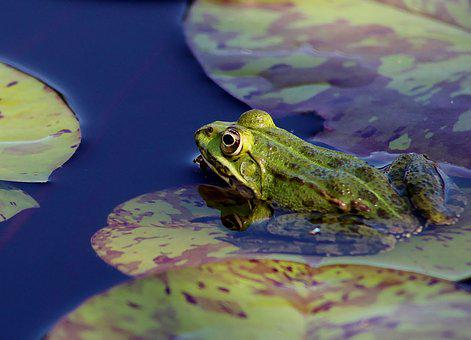 Frog, Pond, Lily, Nature, Animal, Wildlife, Amphibian