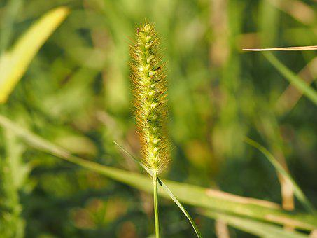 Grass, Wind, Grasses, Plant, Nature, Summer