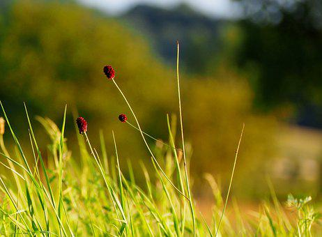 Grasses, Grass, Sunset, Nature, Green, Plant