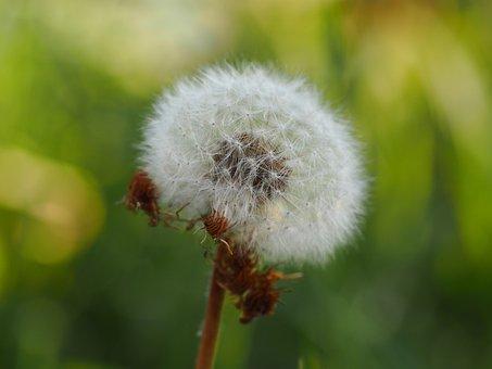 Dandelion, Nature, Close, Pointed Flower, Flower