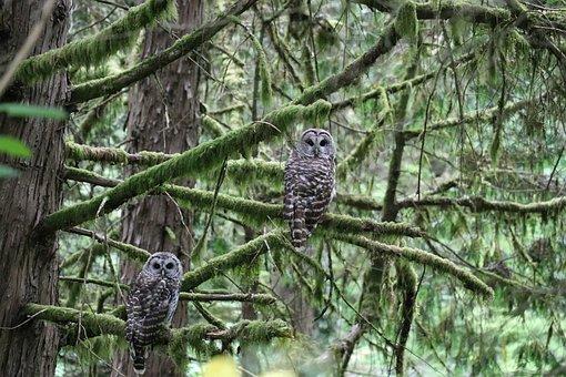 Owl, Oregon, Tree, Portland Oregon, Bird, Wildlife