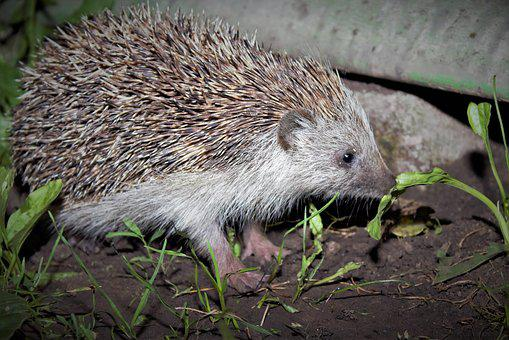 Mammal, Hedgehog, Protection, Nature, Needle, Brown