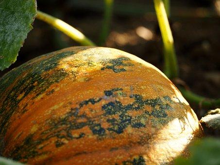 Pumpkin, Field, Agriculture, Squash, Pumpkins