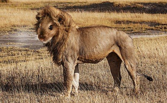 Lion, Mouse, Lion Mouse, Predator, Savannah, Serengeti