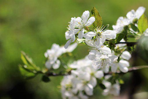 Cherry, Nature, Spring, White, Flower, Wood, Natural