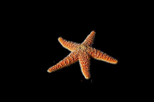 Starfish, Spur, Sea, Prickly, Marine Life, Sea Animal
