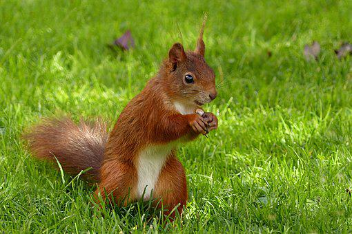 Animal, Mammal, Squirrel, Sciurus Vulgaris Major