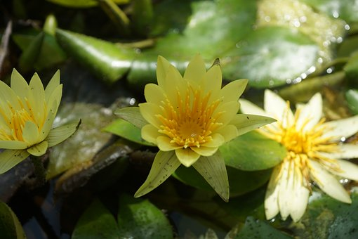 Water Lily, Pond, Aquatic Plant, Summer, Nature, Water