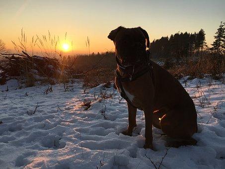 Snow, Sunset, Wintry, Cold, Boxer, Dog, Winter Sun, Sun