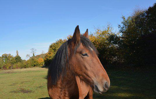 Horse, Gelding, Head, Profile, Animal, Young