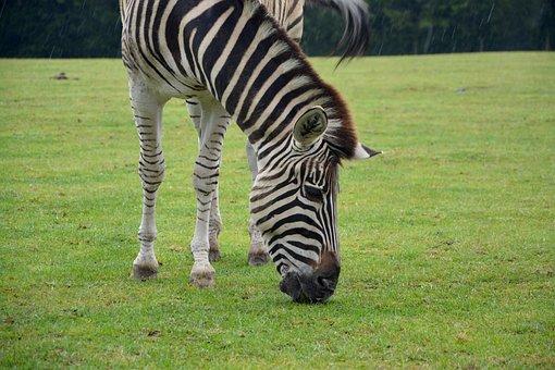 Zebra, Stripes, Nature, Zoo, Animal