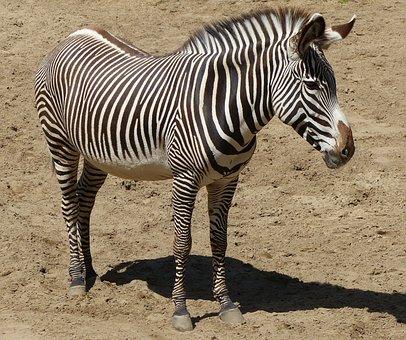 Zebra, Animals, Zoo, Animal, Zebrures, Fauna, Color