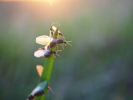 Ant, Flying Ant, Ants, Insect, Nature, Close, Garden