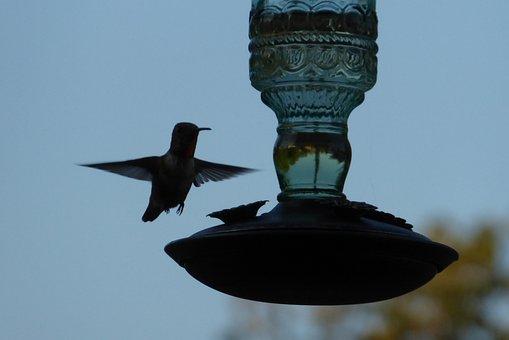Hummingbird, In Flight, Feeder, Backyard, Bird