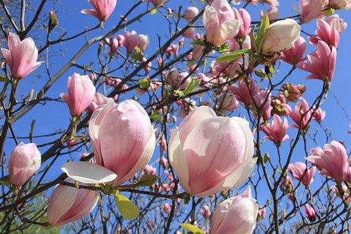 Magnolia, Flower, Blossom, Bloom, Spring, Tree
