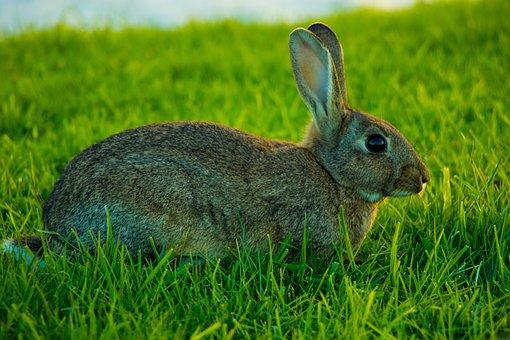 Rabbit, Brown Bunny, Wild Rabbit