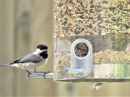 Bird, Tiny, Gray And Black, Chickadee, Wildlife