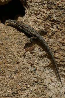 Salamander, Amphibian, Animal, Fauna, Camouflage, Alert