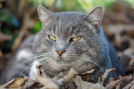 Domestic Cat, Feline, Animal, Muzzle Cat, Nature, Miao