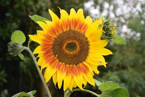 Sunflower, Flowers Sunflower, Yellow, Orange, Nature
