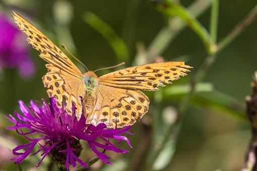 Fritillary, Wild Flower, Butterfly, Plant, Close