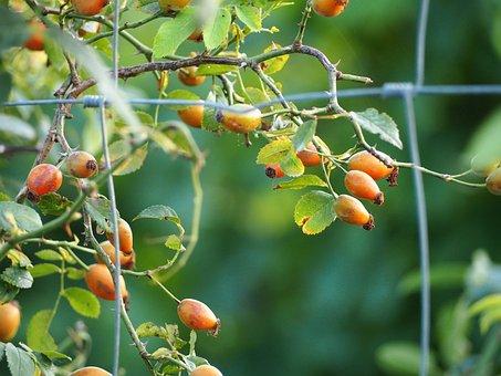 Berries, Fence, Fruit, Nature, Plant, Autumn, Color