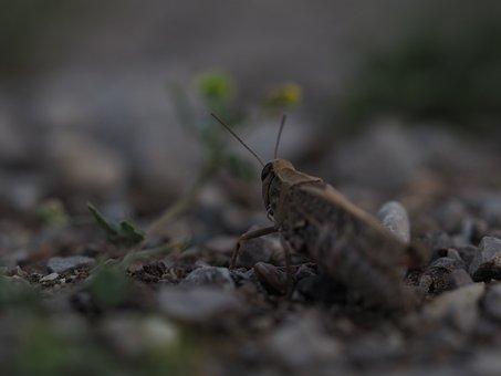 Grasshopper, Nature, Animal, Insect, Close, Macro