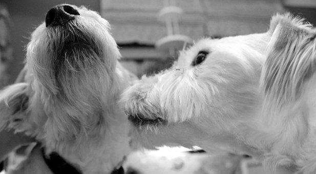 Jackrussel, Dog, Purebred Dog, Small Dog, Cute