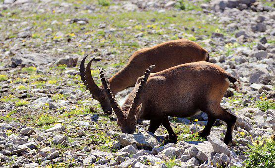 Ibex, Allgäu, Alpine, Mountains, Landscape, Hiking