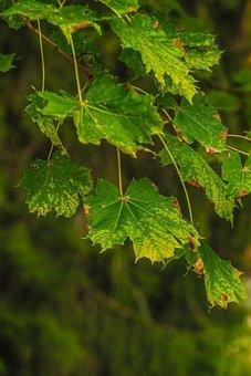 Leaf, Tree, Nature, Green, Summer