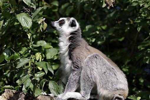 Lemur Katta, Mammal, Animal, Lemurs, Monkey