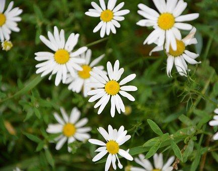 Marguerite, Flowers, Wild, Spring, Field, Petals